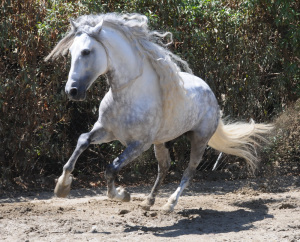 dappled-grey-andalusian-2